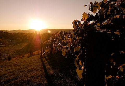 vineyard at sunrise.jpg