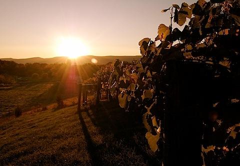 vineyard at sunrise.jpg
